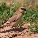 types of finches - Desert Finch