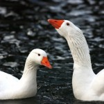 Domestic Goose - types of geese