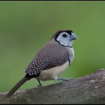 types of finches - Double-barred Finch
