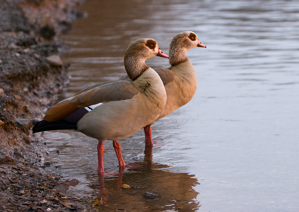 Egyptian Goose - types of geese