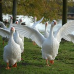 Embden goose - types of geese