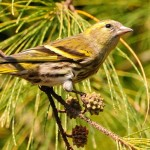 types of finches - Eurasian Siskin