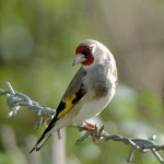 types of finches - European Greenfinch