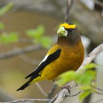 types of finches - Evening Grosbeak