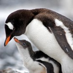Gentoo Penguin Facts – Gentoo Penguins Habitat – Gentoo Penguins Diet