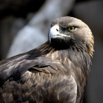 Golden Eagle Facts – Golden Eagle Habitat – Golden Eagle Diet