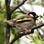 Types of Finches - Golden winged finch