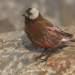 types of finches - Gray-crowned Rosy Finch