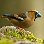 types of finches - Hawfinch