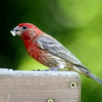 types of finches - House Finch
