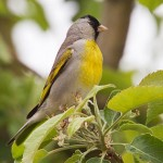 types of finches - Lawrence's Goldfinch