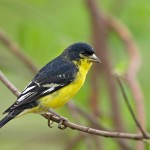 types of finches - Lesser Goldfinch