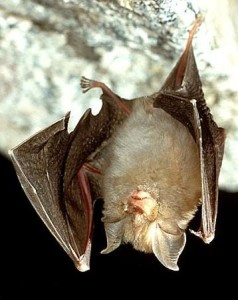 Lesser-horseshow-bat - types of bats