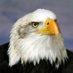 Difference Between Male And Female Eagles – Difference Between Male and Female Bald Eagles