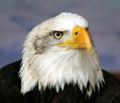 bald eagle - difference between male and female eagles