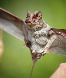 Mexican Free-tailed Bat - types of bats