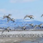 Why Do Birds Migrate – Migration of Birds – When Do Birds Migrate