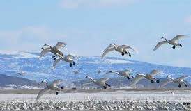 Swans migration - Why do birds migrate