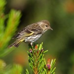 types of finches - Pine Siskin