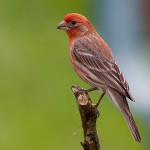 types of finches - Purple Finch