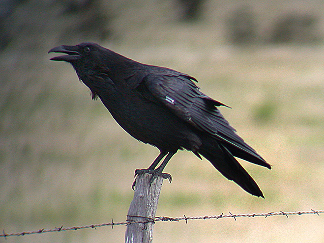 Raven - what is the difference between a crow and a raven