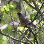 What Do Robins Eat – Robins Diet