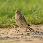 Twite - types of finches