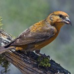 types of finches - Two-barred Crossbill