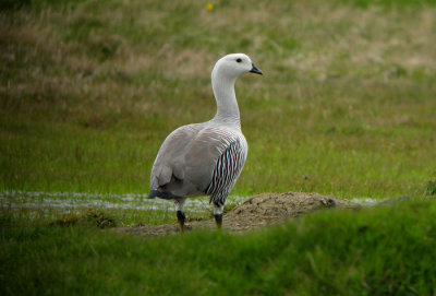 Upland Goose - types of geese