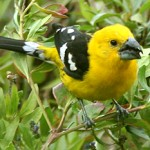 Types of Finches - yellow Grosbeak
