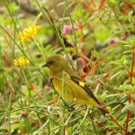 types of finches - Yellow-bellied Siskin