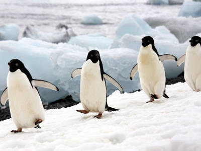 Adelie Penguin Facts - Adelie Penguin