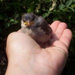 What To Feed a Baby Bird – What To Feed Baby Birds