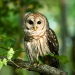 Barred Owl Facts – Barred Owl Habitat – Barred Owl Diet