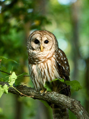Barred Owl Facts - Bar...