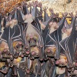 Types of Bats – Different Types of Bats – Species of Bats