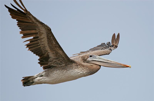 Brown Pelican Facts - Brown Pelican