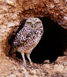 Burrowing Owl Facts - Burrowign Owl