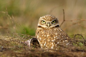Burrowing Owl Facts - Burrowing Owls