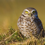 Burrowing Owl Facts – Where Do Burrowing Owls Live- What Do Burrowing Owls Eat