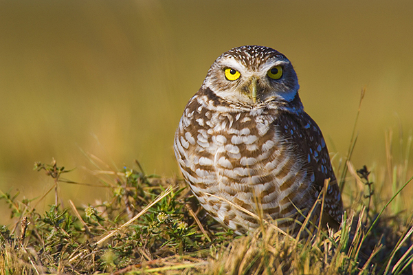 Burrowing Owl Facts – Where Do Burrowing Owls Live– What Do ...