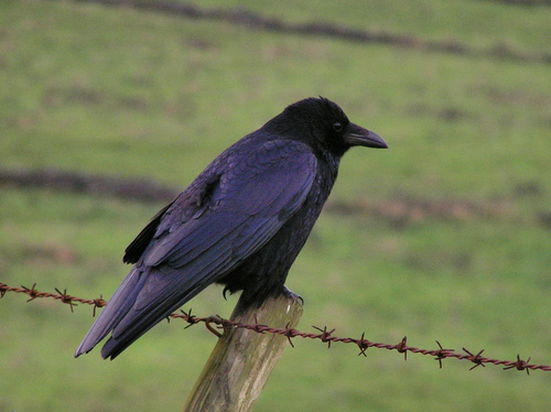 Carrion Crow - what is the difference between a crow and a raven