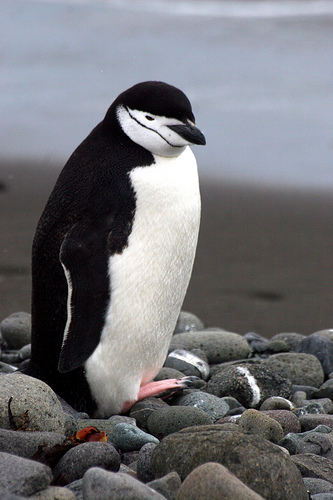 Chinstrap Penguin Facts For Kids – What Do Chinstrap Penguins Eat ...
