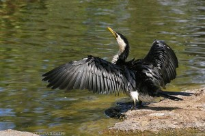 Cormorant - Indian Birds pictures with Names