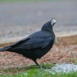 What Do Crows Eat – Crows Diet