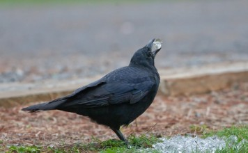 what do crows eat - Crow