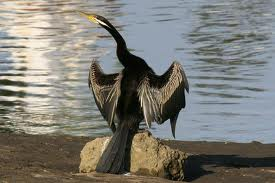Darter - Indian Birds pictures with Names