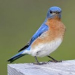Eastern Bluebird Facts For Kids – Eastern Bluebird Diet