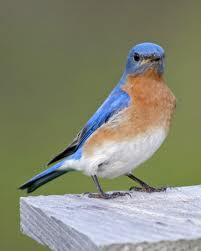 eastern bluebird - eastern bluebird facts