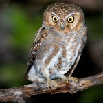 Elf Owl Facts – What Do Elf Owls Eat – Where Do Owls Live